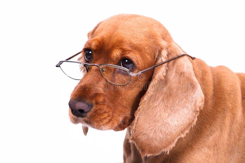 Angielski Cocker Spaniel pies, szkła i fotografia stock
