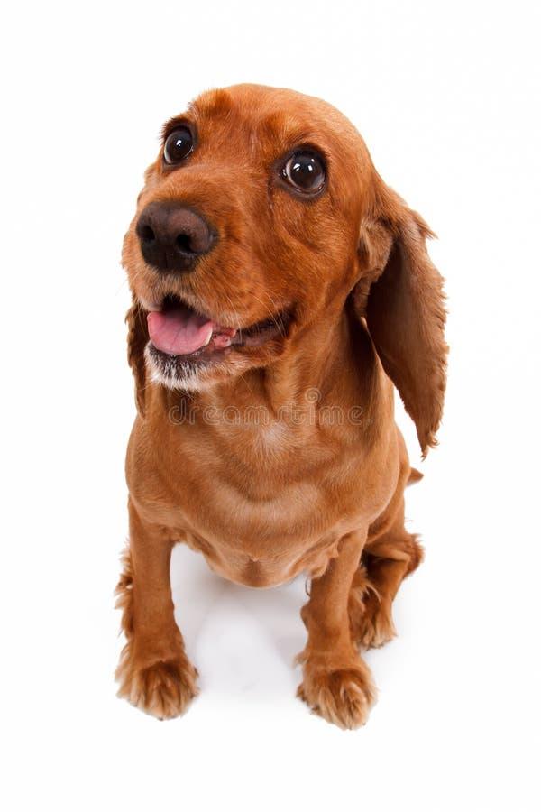 Angielski Cocker Spaniel psa czekania rozkaz fotografia stock