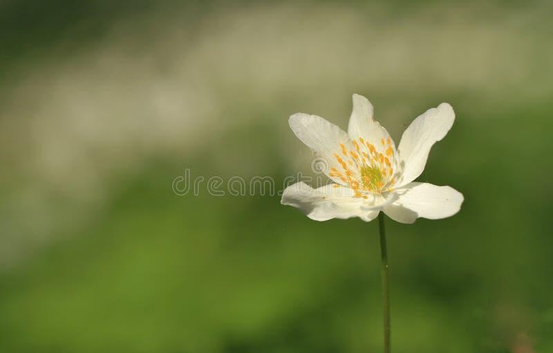 Angielski drewniany anemon zdjęcia royalty free
