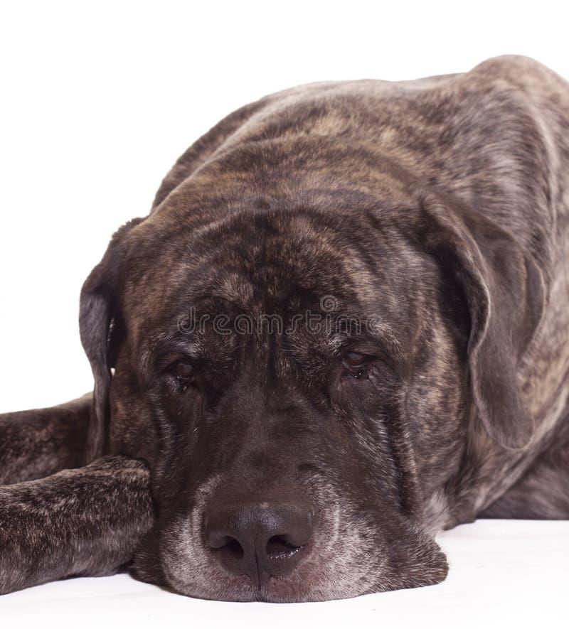 Angielski mastifa pies zdjęcia royalty free