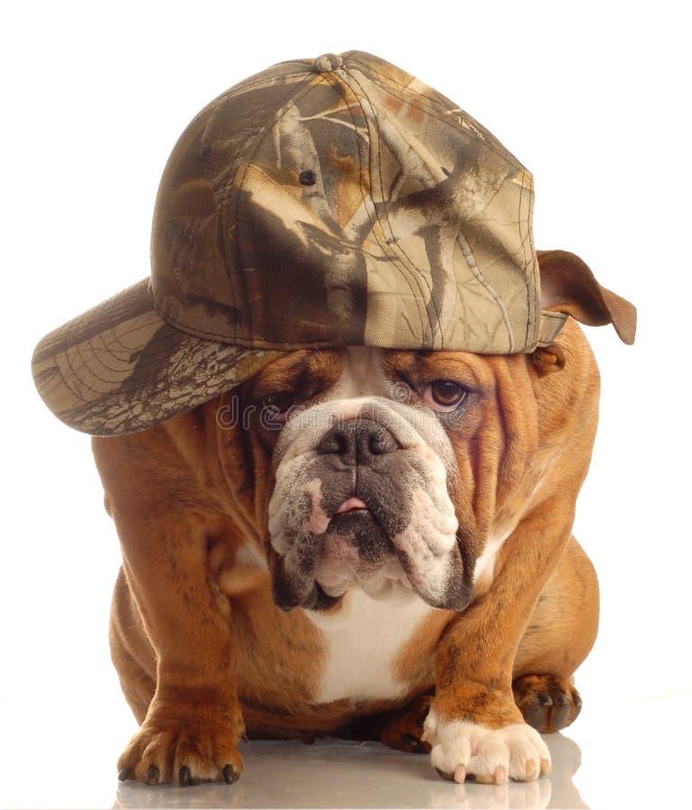 angielski pies byka nosić kapelusz obrazy royalty free