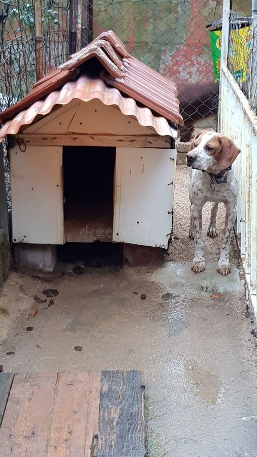 Angielski pointer - Beagle pies zdjęcia royalty free