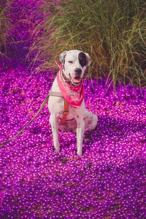 Angielski pointer mieszanki fenotypu pies zdjęcie stock