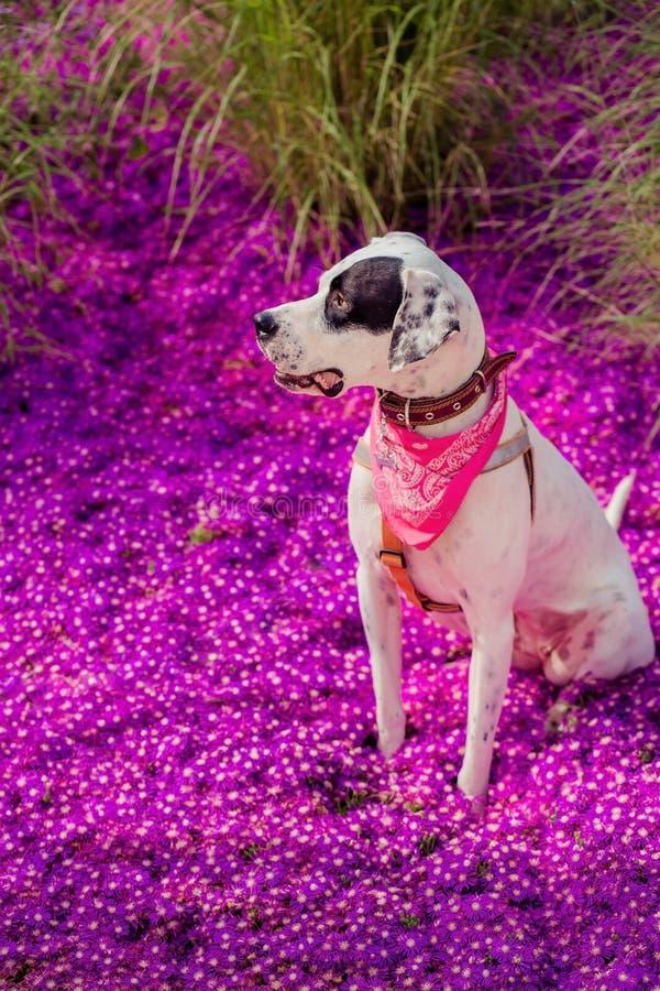 Angielski pointer mieszanki fenotypu pies zdjęcia stock