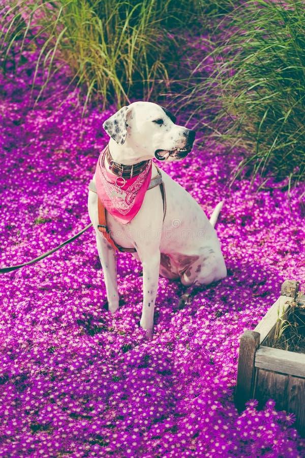 Angielski pointer mieszanki fenotypu pies zdjęcia royalty free