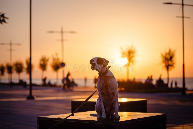 Angielski pointer mieszanki fenotypu pies na zmierzchu zdjęcia stock