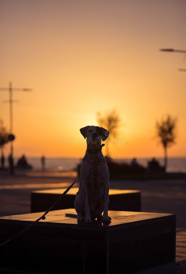 Angielski pointer mieszanki fenotypu pies na zmierzchu obrazy stock