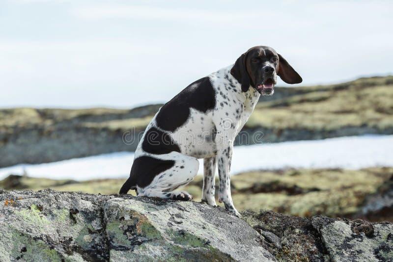 Angielski pointeru pies obraz royalty free
