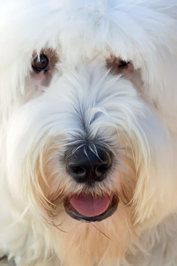 angielski sheepdog obraz royalty free