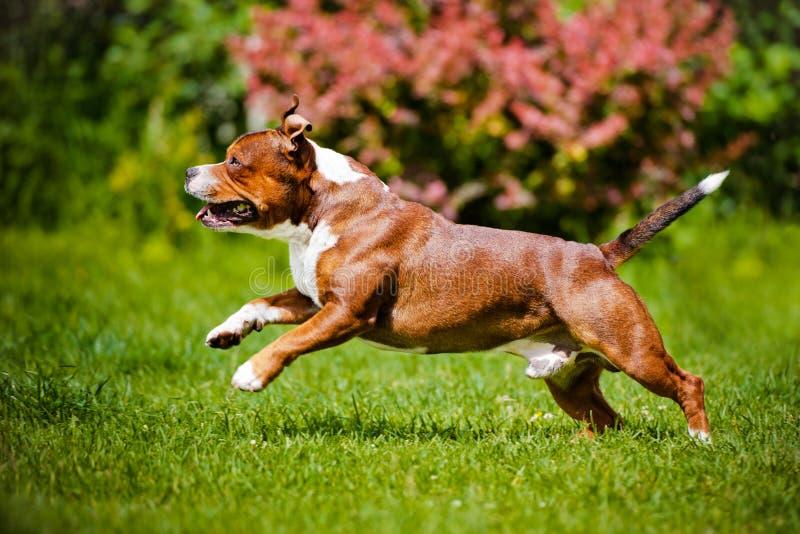 Angielski Staffordshire Bull terrier pies fotografia royalty free