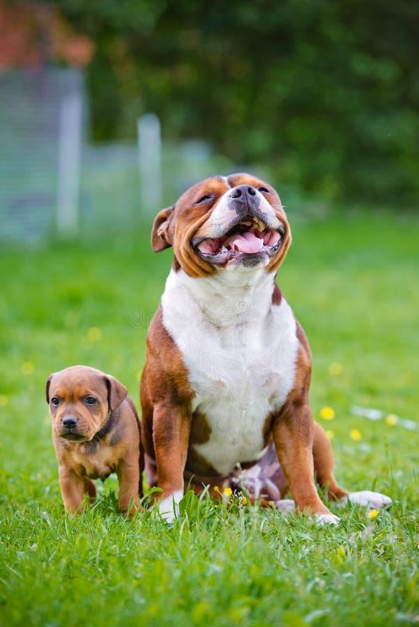 Angielski Staffordshire Bull terrier pies z szczeniakiem fotografia stock
