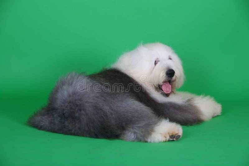 angielski stary sheepdog obrazy stock