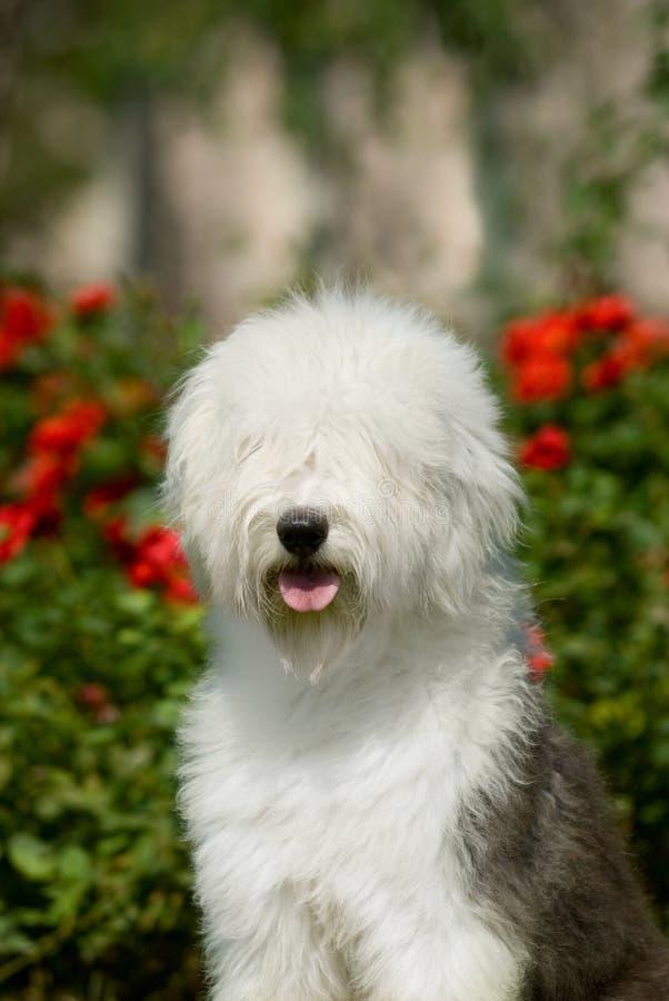 angielski stary sheepdog zdjęcie royalty free