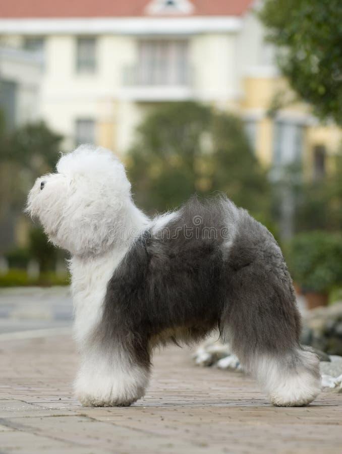 angielski stary sheepdog fotografia stock