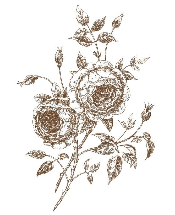 Angielskie róże royalty ilustracja