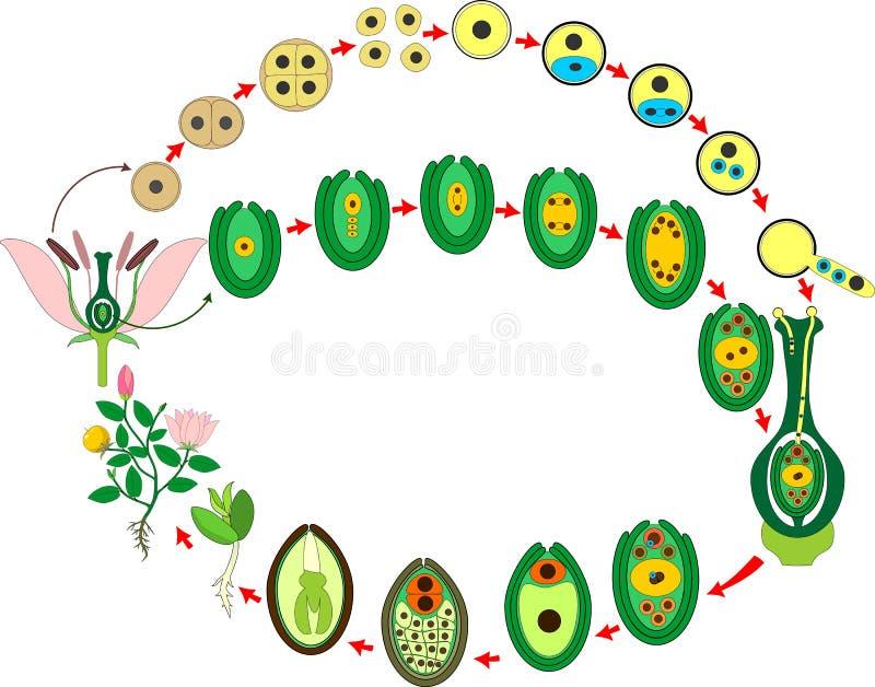 Angiosperm κύκλος ζωής εγκαταστάσεων Διάγραμμα του κύκλου ζωής του ανθίζοντας φυτού με τη διπλή λίπανση ελεύθερη απεικόνιση δικαιώματος