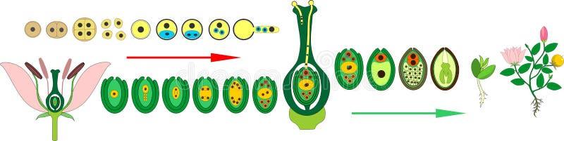 Angiosperm de cyclus van het installatieleven Diagram van het levenscyclus van bloeiende installatie met dubbele bemesting stock illustratie
