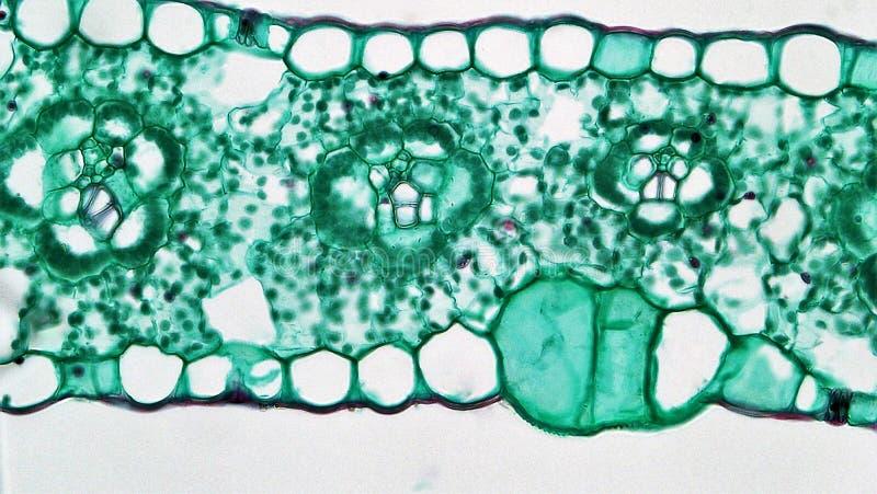 Angiosperm Morphology: Bulliform Cells In  Zea Leaf Free Public Domain Cc0 Image