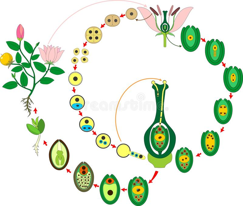 Angiosperm plant life cycle. Diagram of life cycle of flowering plant with double fertilization stock illustration