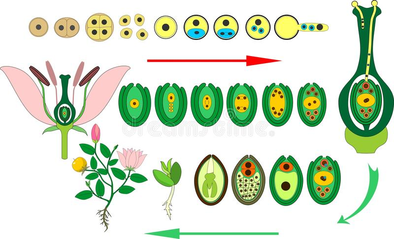 Angiosperm plant life cycle. Diagram of life cycle of flowering plant with double fertilization. Isolated on white background royalty free illustration