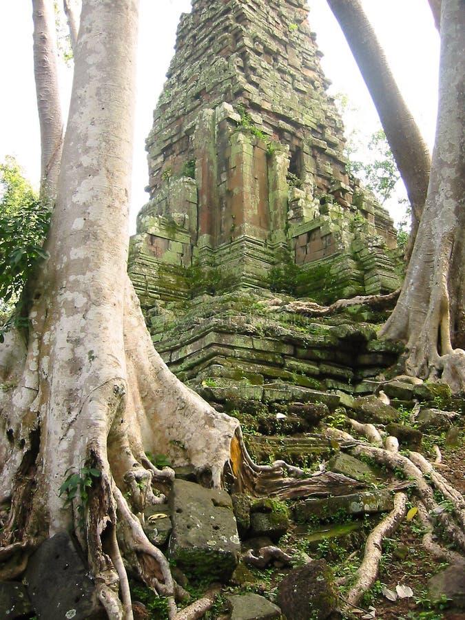 Angkor Banyan Ruiny Zakorzeniona świątyni Wat Zdjęcie Stock