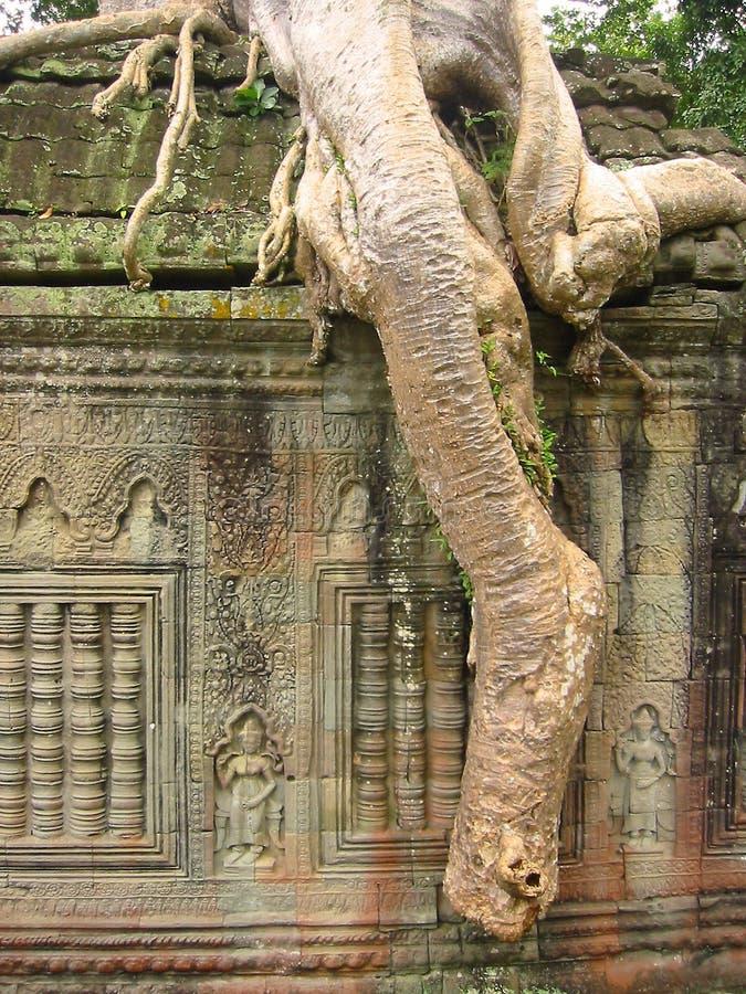Angkor Banyan Ruiny Zakorzeniona świątyni Wat Zdjęcia Stock