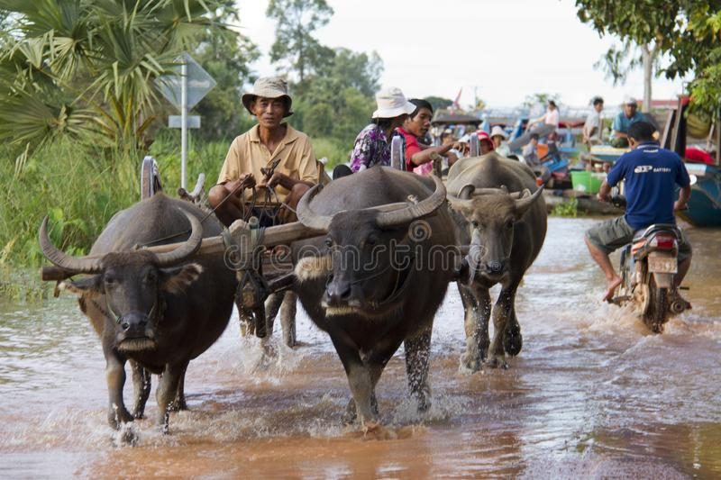 Angkor, Cambodia - Oct 11, 2011: Water buffalo ferried stranded tourists to boats. The boats were docked on what was normally a street due to the floods royalty free stock images