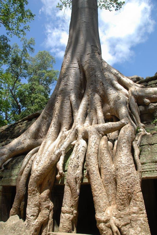 Free Angkor Tree, Cambodia Stock Photos - 10526393