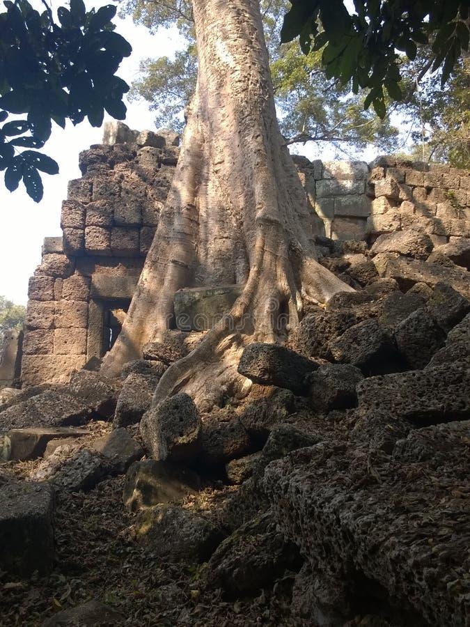 Angkor Wat i Siem Reap, Cambodia Forntida fördärvar av en khmerstentemplet som är bevuxen med, rotar och jätte- stranglerfikonträ royaltyfri bild