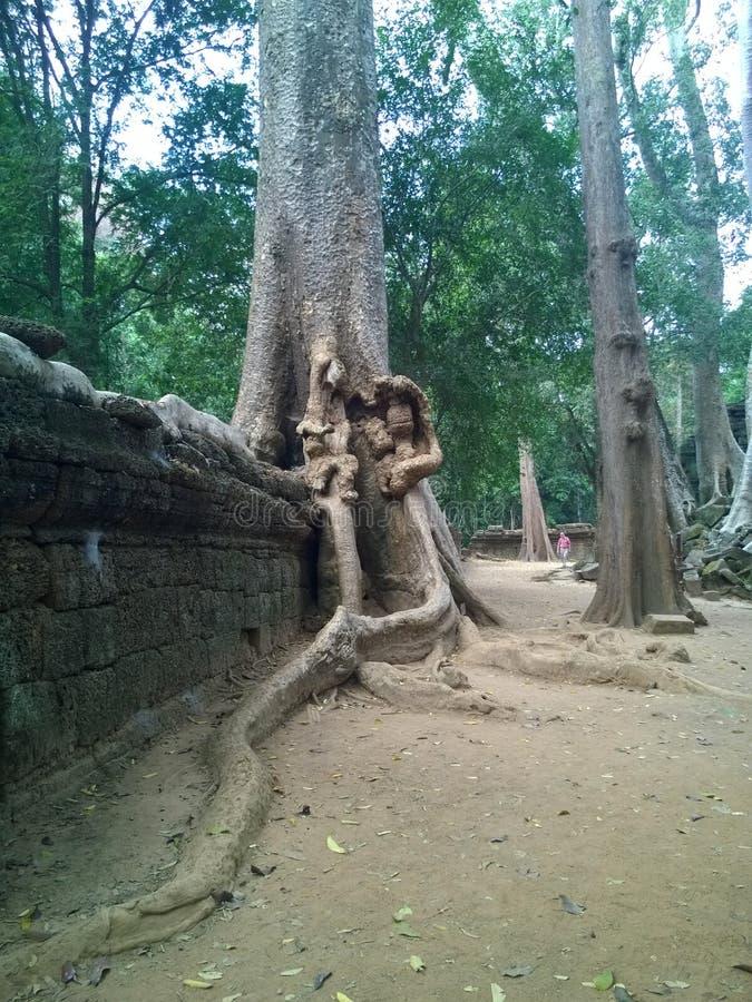 Angkor Wat i Siem Reap, Cambodia Forntida fördärvar av en khmerstentemplet som är bevuxen med, rotar och jätte- stranglerfikonträ arkivfoto