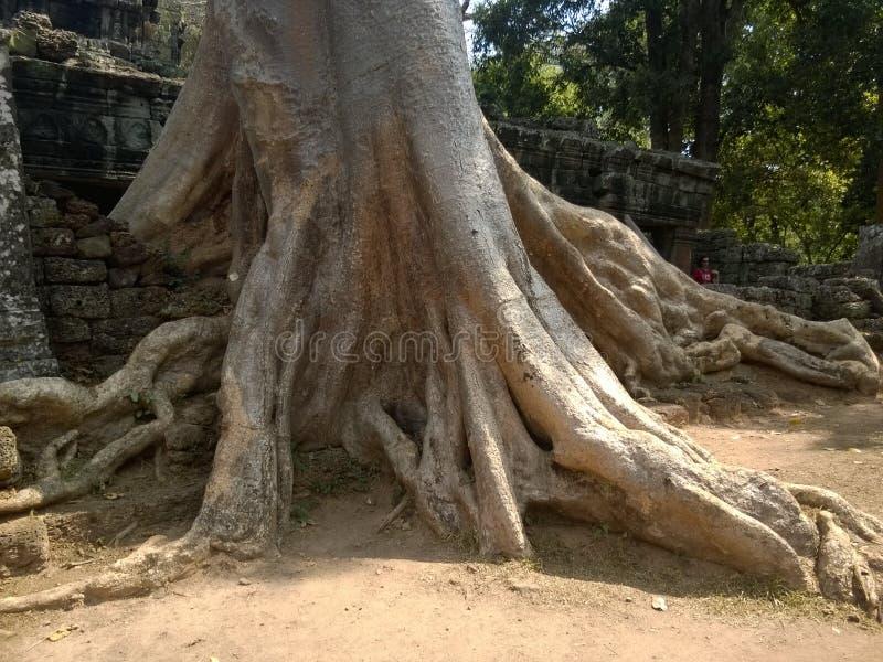 Angkor Wat i Siem Reap, Cambodia Forntida fördärvar av en khmerstentemplet som är bevuxen med, rotar och jätte- stranglerfikonträ royaltyfria bilder