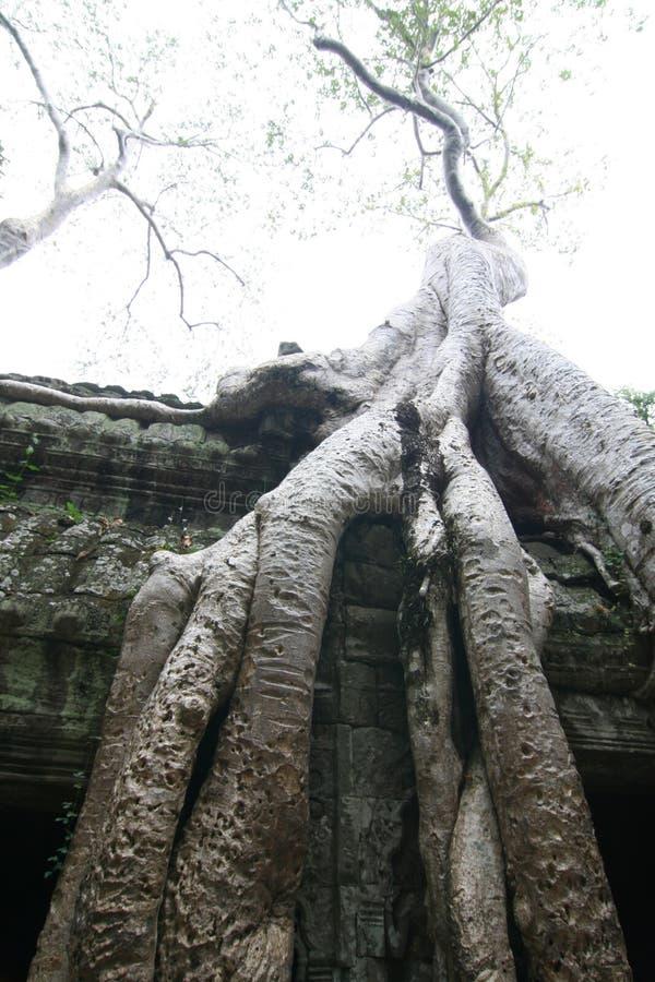 Angkor Wat Tempel und Baum lizenzfreies stockfoto