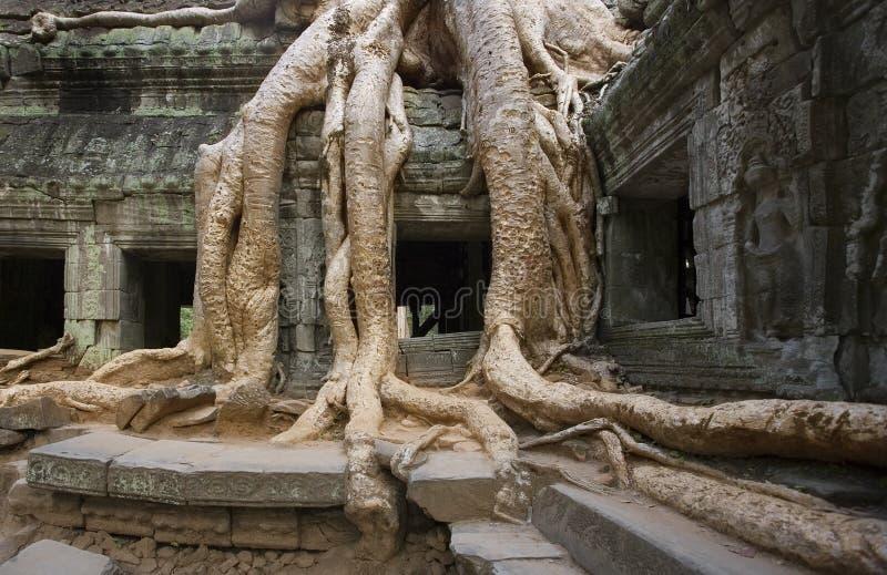 Angkor Wat - tempiale dell'AT Prohm - la Cambogia immagini stock