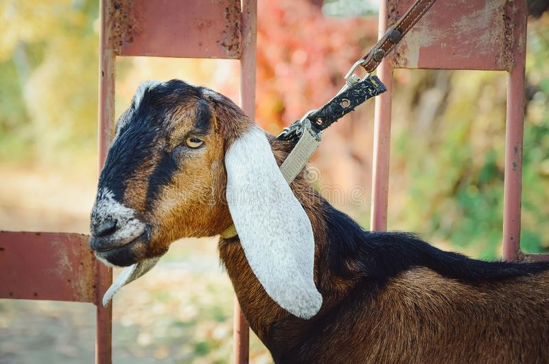 Angla-Nubian goat to the farm. close-up. royalty free stock images