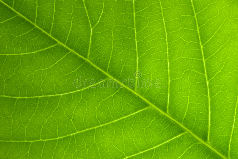 Download Angled leaf Veins stock photo. Image of ecology, environment - 5882856