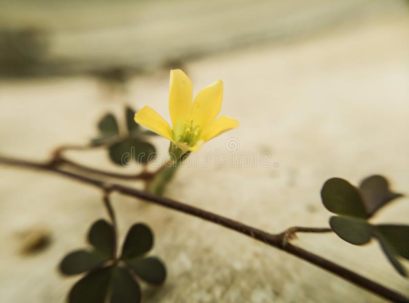 single yellow flower on a vine with leaves royalty free stock image