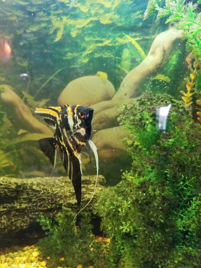 Anglefish stockbilder
