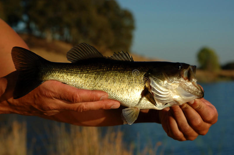 Angler with bass fish. Hands of angler with caught bass fish, lake in background stock photo