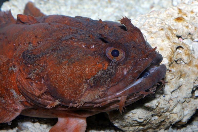 Download Anglerfish stock photo. Image of ocean, marine, fish, deep - 98108