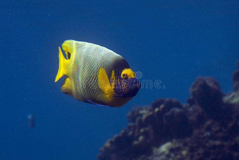 anglfish fotografia stock