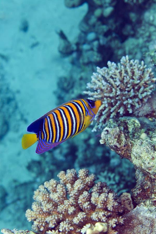 Anglfish régios no Mar Vermelho. fotos de stock royalty free