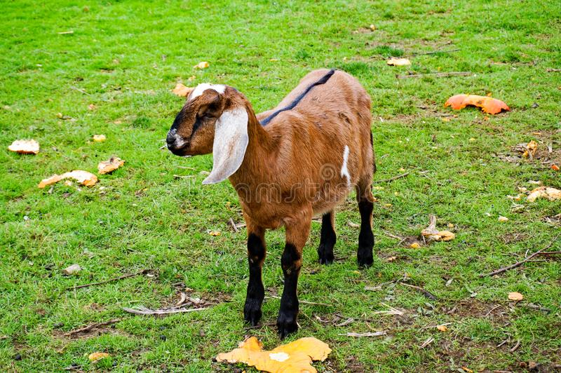 Young Anglo-Nubian Goat in a field stock image