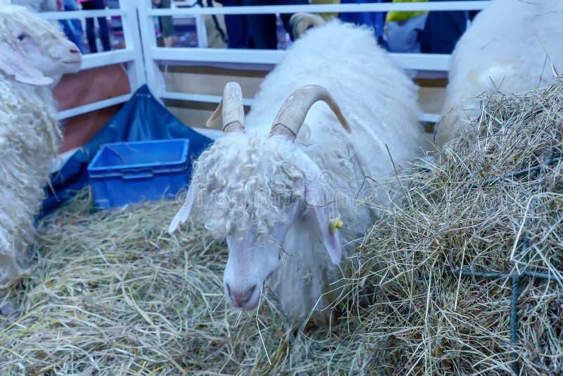 Anglo-Nubian goat stock photo