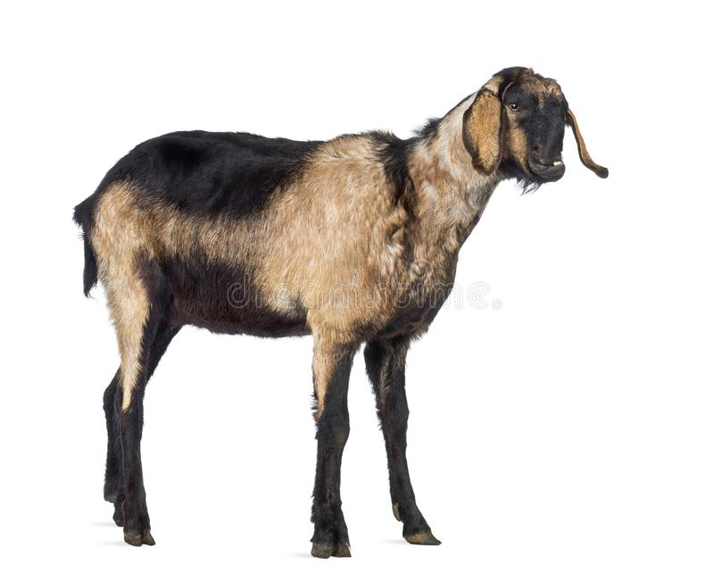 Anglo-Nubian goat with a distorted jaw royalty free stock photography