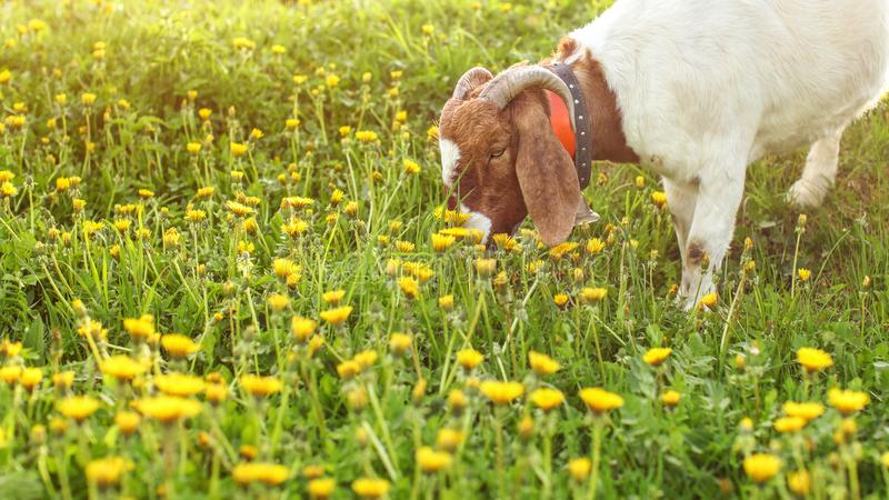 Anglo Nubian Goat grazing, eating grass on sun lit meadow full o stock images
