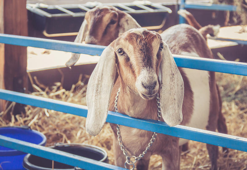 Anglo-Nubian lop earred goats & x28;Capra Aegagrus Hircus& x29; on display in their pen at the county fair stock photos