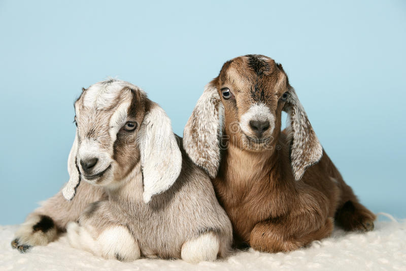 Anglo-nubian young goats on wool royalty free stock photos
