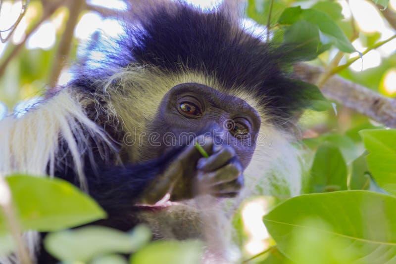 Angola Colobus Head Portrait stock image