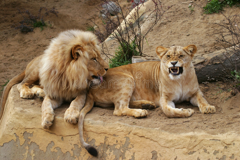 Angola-Löwe, Löwe und Löwin lizenzfreie stockbilder