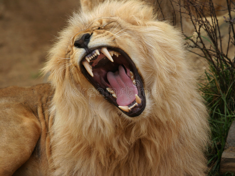 Angola lion royalty free stock photography